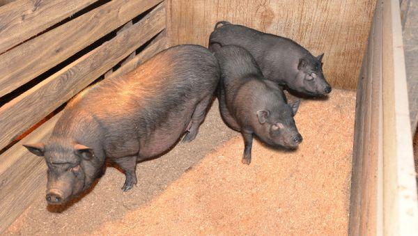 Елена Калашникова: «Свиньи — чрезвычайно умные и любопытные животные»