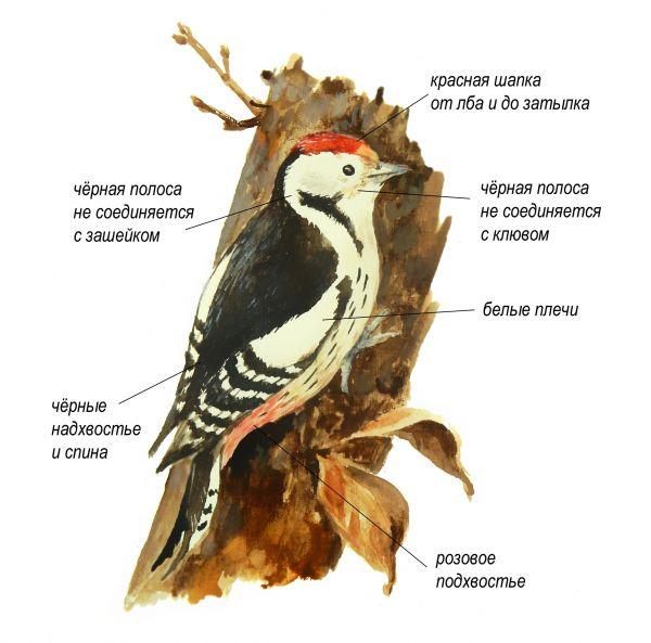 Чем средний пёстрый дятел отличается от других видов пёстрых дятлов: большого, малого и белоспинного
