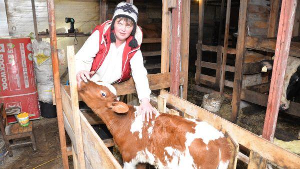 Сегодня у семьи фермеров — три коровы, нетель, тёлочка Марточка. В планах — иметь в хозяйстве не менее 10 буренок.