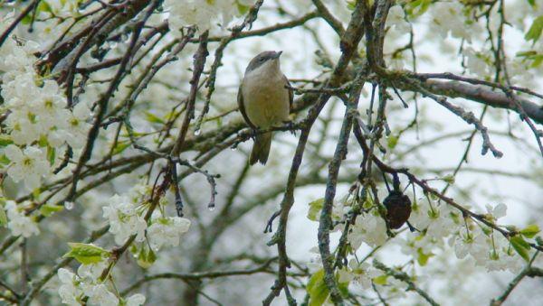 Славка-мельничек на цветущей сливе