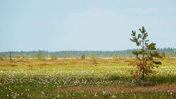 Цветущее верховое болото