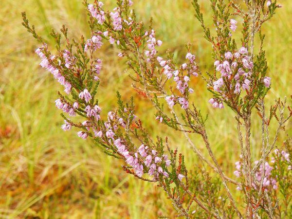 В августе — второй пик цветения вереска