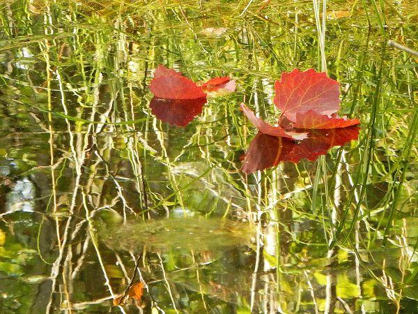 Красные осиновые листья на воде болотного озерка