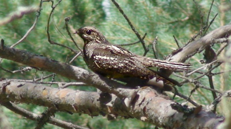 Козодои — ночные птицы, и заметить их днём — большая удача