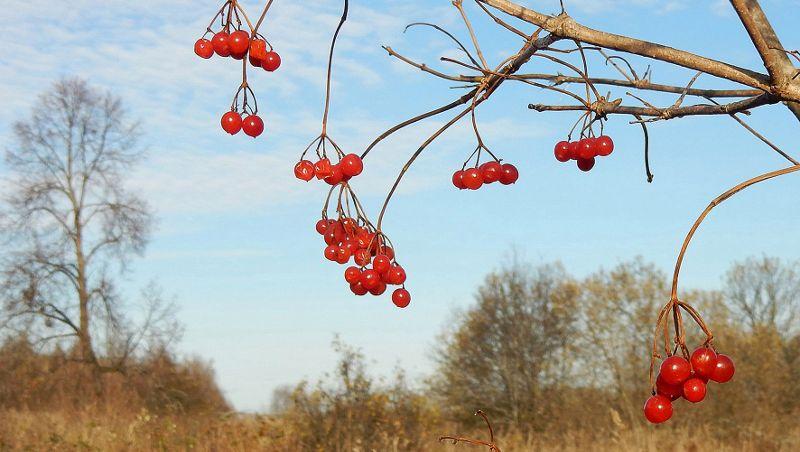Ягодами калины осенью подкармливаются пролётные птицы