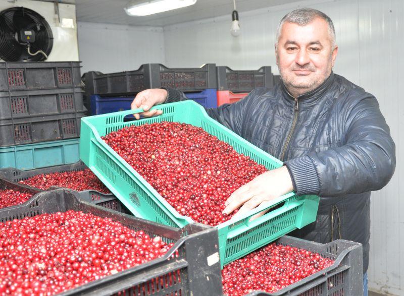 Асиф Мамедов: «Ягоды для многих живущих на селе хоть и сезонный, но очень солидный заработок»