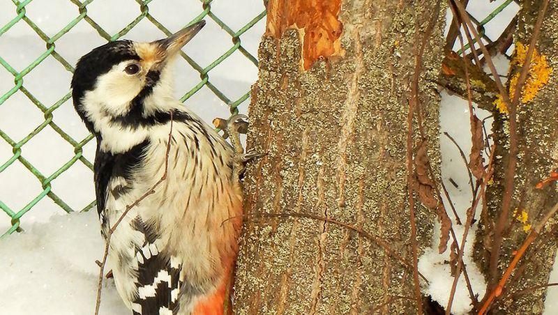 Самка белоспинного дятла нашла подходящее дерево рядом с забором детского сада