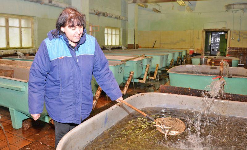 Выращенные из икры сеголетки — подросшие мальки до года — будут выпущены в озёра Новгородчины