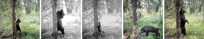 Посетители маркировочного дерева: медведи разных размеров, енотовидная собака и кабан