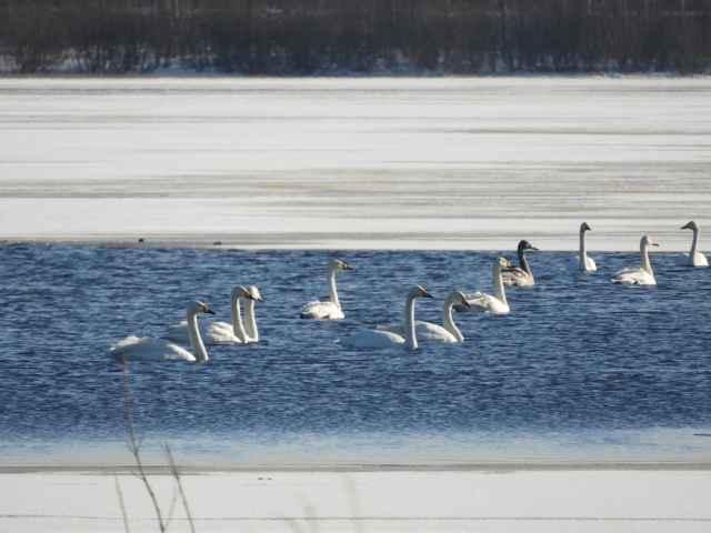 Лебеди-кликуны в окрестностях Великого Новгорода 29 февраля.