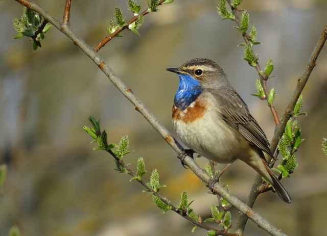 Под синим горлом у варакушки виднеется ожерелье из красных, чёрных и белых перьев, а посередине светится белая или красная звезда, которая начинает мерцать, когда птичка поёт