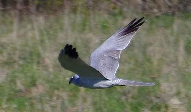 У самца степного луня, в отличие от прочих видов, чёрные кончики крыльев очень узкие, а у самки крылья ближе к телу сильно темнеют