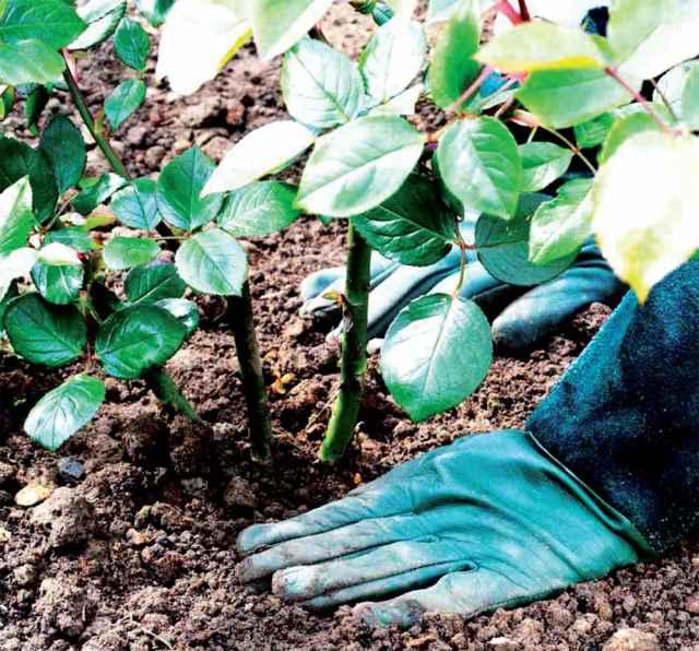 Осенью все условия идеально подходят для высадки роз в грунт. До морозов кусты успеют укорениться в земле и подготовиться к удачной зимовке.