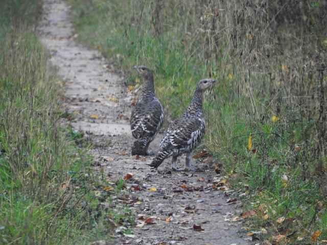 Глухарки собирают камушки на дороге.