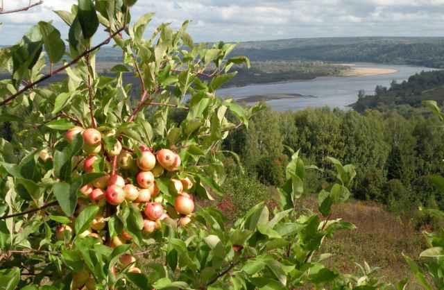 Для подвоя культурных сортов подойдёт не только дикая яблоня, но и сорта Антоновка.