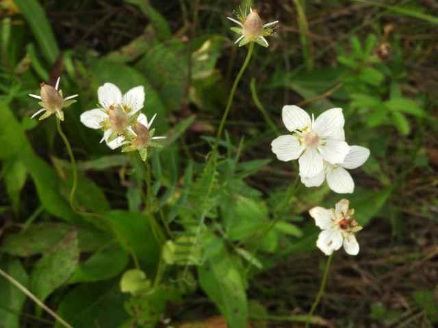 Белозор болотный — довольно редкое растение, встречающееся на заболоченных лугах.