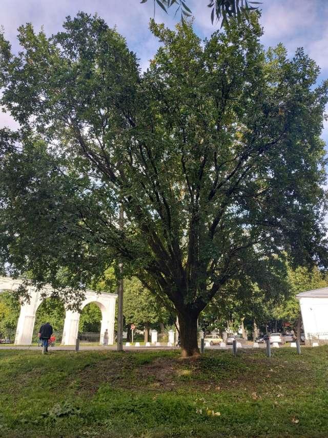 В преддверии реконструкции набережной Александра Невского у аркады общественное движение «Деревья Великого Новгорода» выступает за максимальное сохранение зелёных насаждений.