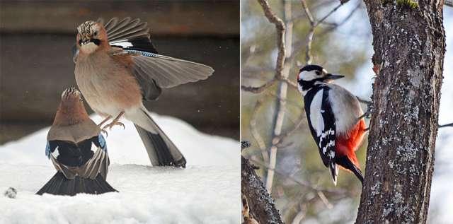 Для встречи с пернатыми Валентине Морозовой необязательно ходить далеко: птицы нередко прилетают «в гости» к её двору.