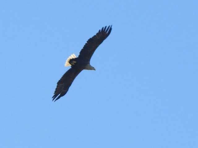 Орлан-белохвост — самый крупный хищник в наших местах, размах его крыльев достигает 2–2,4 метра.