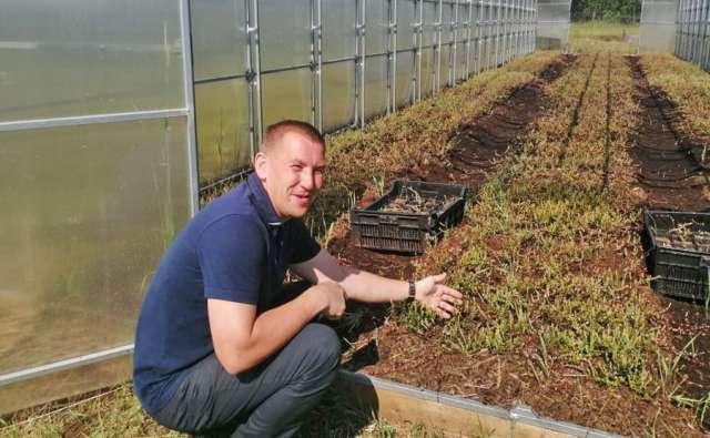 Вот так Андрей Белов выращивает кислую ягоду — сначала клюква набирается сил в теплице, и только потом её высаживают в открытый грунт.
