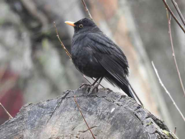 Чёрный дрозд вздумал петь незадолго до празднования Нового года.