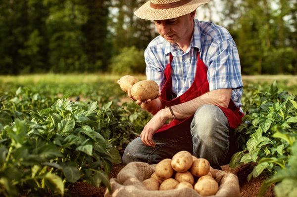 Фермеров тревожит сезонное падение цены на картофель