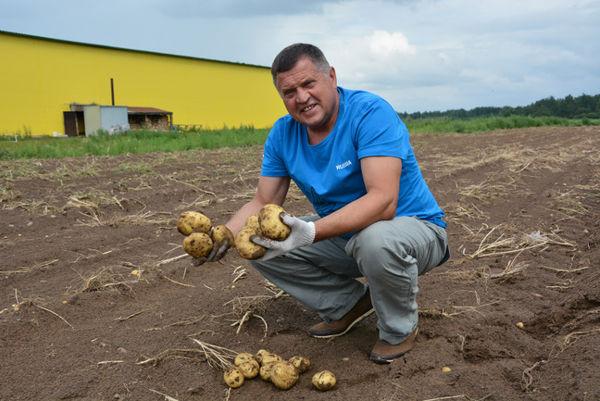 Иван Пиреев: «Сегодня мы подсчитали, что с одного гектара получается 250 центнеров картофеля. Для конца июля это — высокий результат»