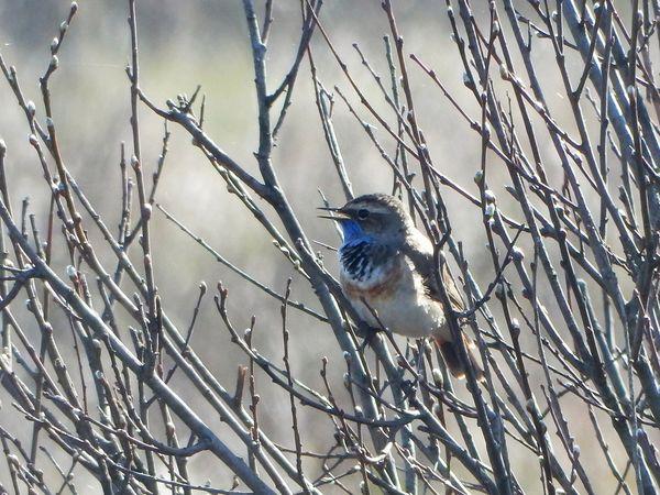 Синегорлый соловей под названием варакушка самозабвенно высвистывает свои мелодии