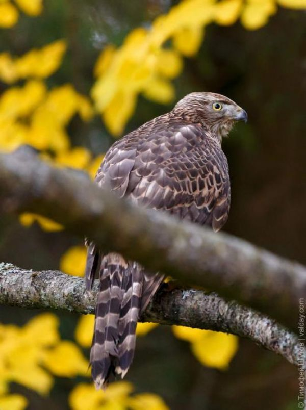 Ястреб-тетеревятник – новгородская осёдлая птица