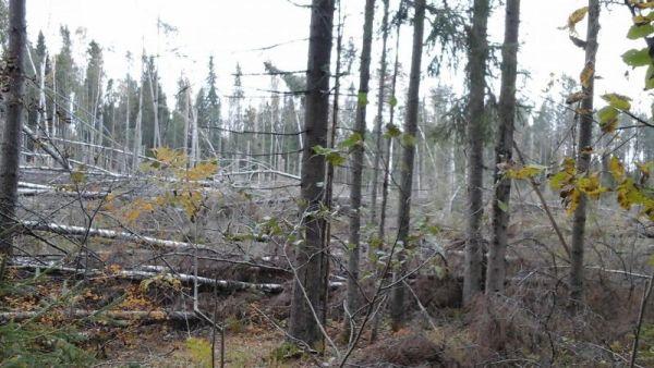 Ветровалы представляют большую опасность в случае возникновения лесных пожаров.