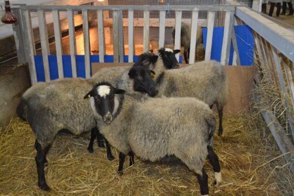 Проект создания семейной овцеводческой экофермы прошел отбор конкурсной комиссии в 2018 году и получил грант в размере 10 млн рублей.