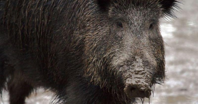 Инфицированного АЧС дикого кабана обнаружили на территории охотничьих угодий.