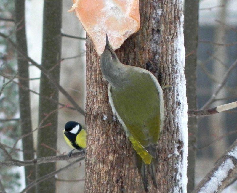 Птичка, которую удалось сфотографировать, – самка седоголового дятла (Picus canus)
