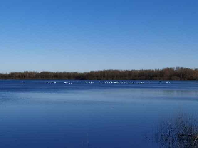 Встретиться с лебедями в окрестных водоёмах можно в течение всего апреля