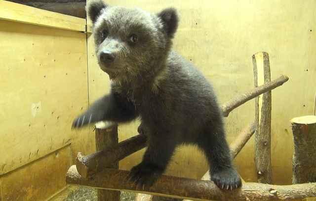 Маленькую медведицу назвали Нелюшкой и подселили к трём другим медвежатам-сиротам.