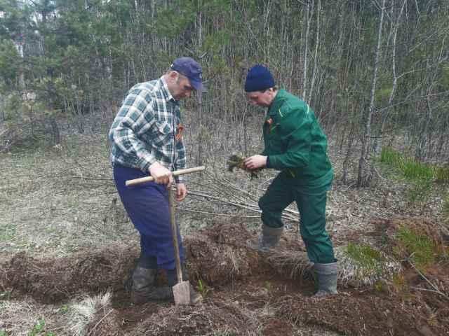 Сотрудники национального парка «Валдайский» высадили саженцы ели на участке у дороги Валдай-Угловка.