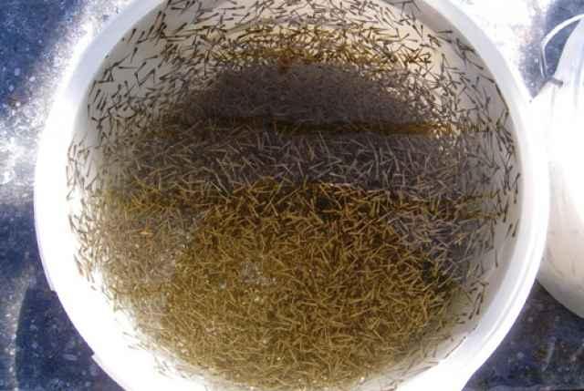 Личинки для зарыбления вырастили специалисты Никольского рыборазводного завода.