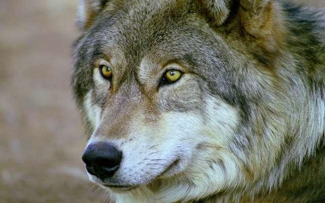 С начала 2021 года в лесах региона охотники добыли более 30 волков
