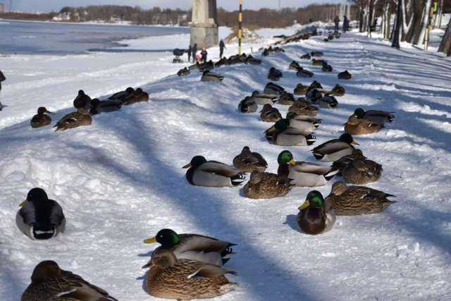 Из-за созданных горожанами благоприятных условий у диких уток отпала нужда улетать в тёплые края из Великого Новгорода.