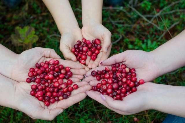 Среди дикорастущих ягод клюква – на одном из первых мест по количеству полезных веществ.