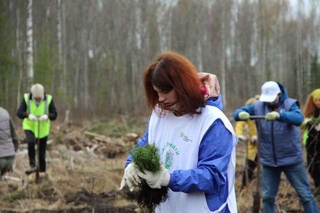 У деревни Видогощь на лесной делянке волонтёры посадили более трех тысяч сеянцев сосны.