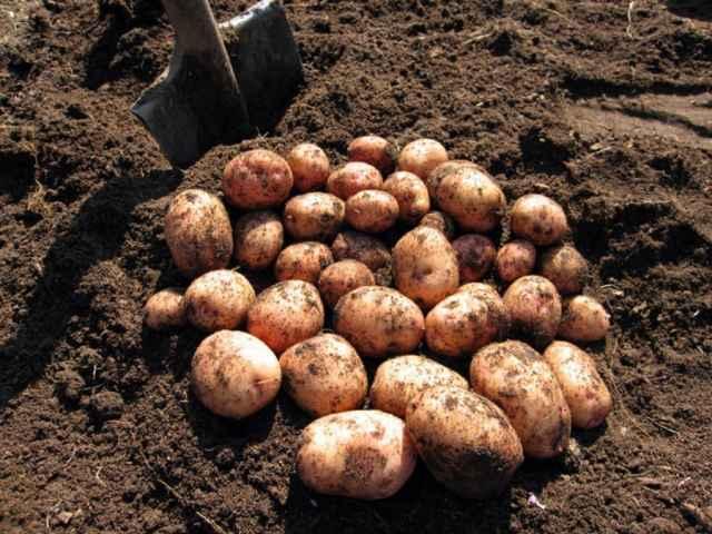 Картофель убран с площади 5 га, выкопано 117 тонн