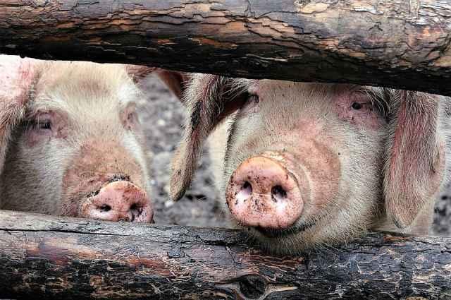 После предыдущего случая заболевания АЧС в Солецком округе свиньи не должны были содержаться в деревне Посохово до 15 октября 2021 года.