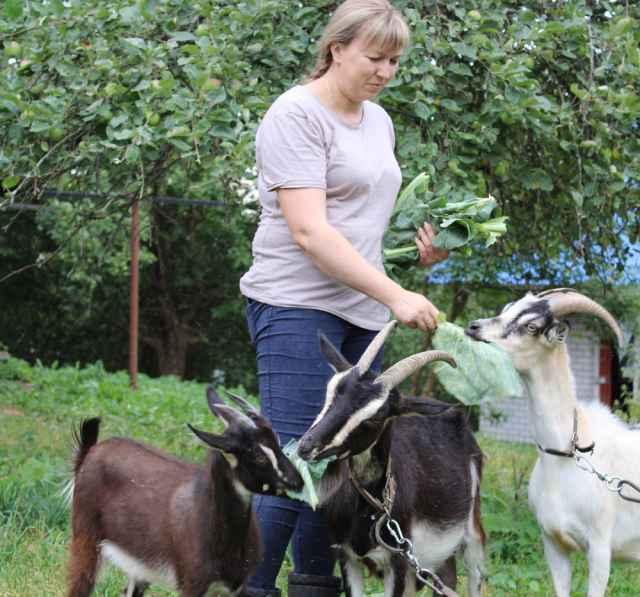 Сейчас на подворье у Виктории Макеевой две молочные козы, три  козлёнка, куры-несушки и петухи.