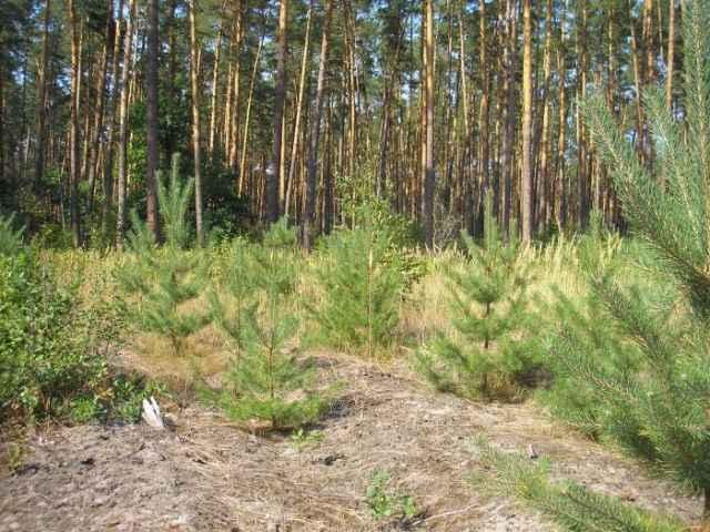 Работники лесхозов и арендаторы лесных участков провели агротехнический уход, способствующий росту и развитию лесных культур