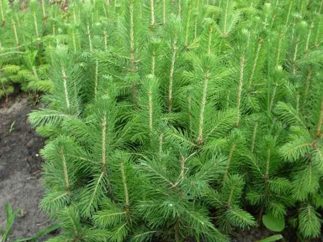 В рамках акции в 2021 году в лесничествах Новгородской области деревья высадят на площади 48,5 гектаров.