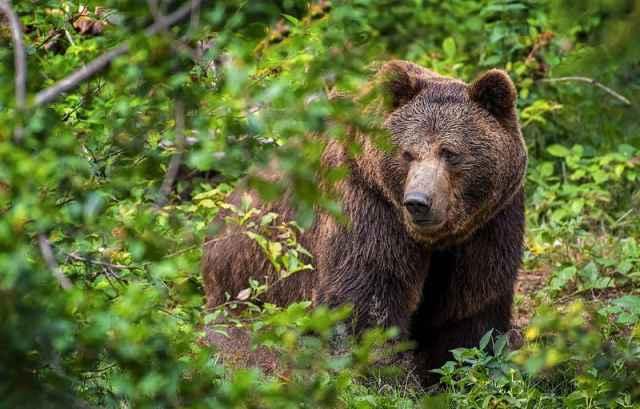 Парфинец рассказал, что медведь появился и исчез почти бесшумно.