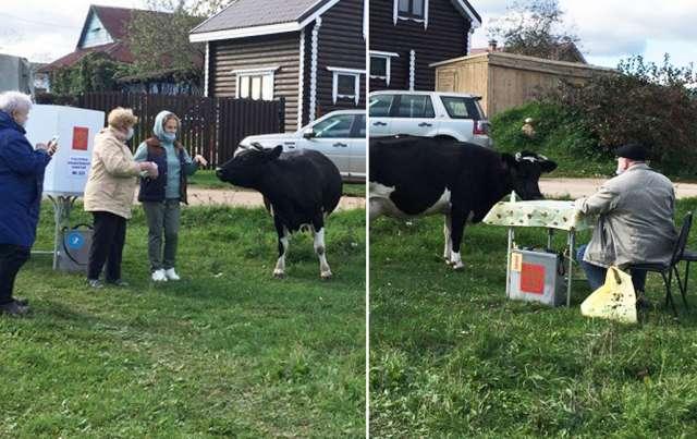 В Валдайском районе на голосование пришла корова, но её в списке избирателей не нашли
