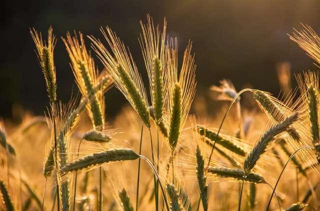 Аграрии смогут компенсировать до 50% своих затрат на производство и реализацию зерна.